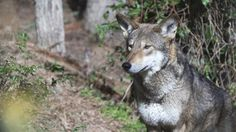 For World's Only Wild Red Wolves, a Fateful Decision
