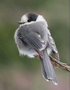 The Grey Jay