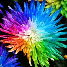 Free Shipping 20 Rainbow Chrysanthemum Flower Seeds rare color  new arrival DIY Home Garden flower plant