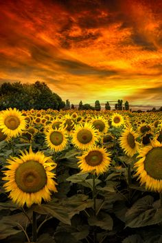 Tuscany Sunflowers by Marco Carmassi