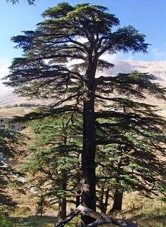 Deep roots: Cedar of Lebanon. The wood of this tree was used by Solomon in the construction of the temple he built in Jerusalem.