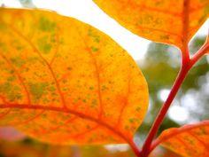 [2012.8.6] 단풍 X10    노란색으로 물든 단풍잎을 접사로 담은 사진을 준비했습니다.    무더운 여름이 지나고 가을이 오면    눈길이 닿는 곳마다 울긋불긋 예쁜 색으로 물들어 있겠죠?    <사진정보>    촬영 모드 - Manual   감도 - ISO 100   다이나믹 레인지 - 100%   조리개 - f/2.8   셔터스피드 - 1/160   초점거리 - 7.1mm   화이트 밸런스 - Fine   필름 시뮬레이션 - Velvia    http://blog.naver.com/fujifilm_x/150136728619