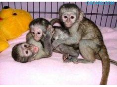 monkey babies and Chimpanzee babies for sale