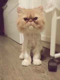 Shaved Persian Cat 77