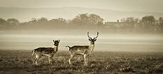 The beautiful deer, phoenix park, Dublin, Ireland Fallow Deer, Trophy Hunting, Dublin, Habitats, Kangaroo, Phoenix, Giraffe, Camel, Ireland