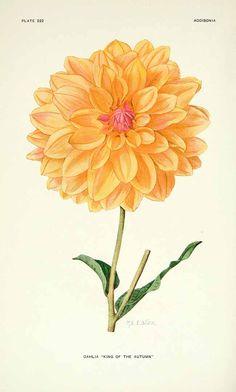 Dahlia hort. cv. King of the Autumn  Addisonia, vol. 6: t. 222 (1921) [M.E. Eaton]