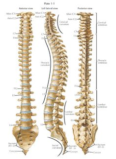 VERTEBRAL COLUMN The vertebral column is built from individual units of alternating bony vertebrae and fibrocartilaginous discs. These uni... Spinal Cord Anatomy, Thoracic Vertebrae, Alexander Technique, Human Spine, Spine Surgery, Spinal Column, Human Skeleton, Scoliosis, Health Products