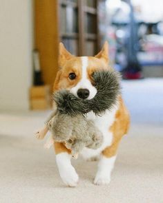 I brought you a squirrel. #corgi