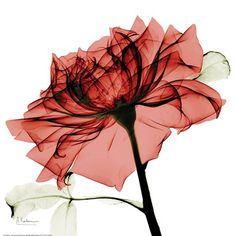 Red Rose Fine-Art Print by Albert Koetsier at UrbanLoftArt.com