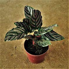 Maranta é uma das plantas para decorar o apartamento com muita elegância e bom gosto