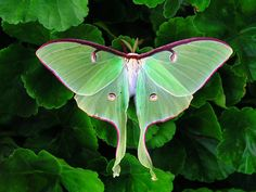 Luna Moth -  Luna Moth is the largest moth in North America they have a wingspan of up to 6 inches. A Luna moth's wings have markings that look like eyes this helps to frighten away birds and other enemies.This moth color has an unusual, delicate, pale green color. Luna moths fly mostly at night. Lifeinthewoods.com