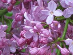 can't wait to smell the Lilacs again. Photo by Michelle Barber
