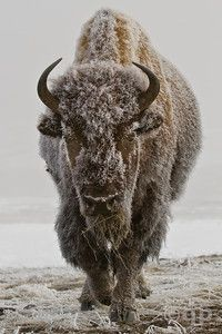 Bison. YNP, Wyoming. Prints available. This picture was taken when it was 24 degrees below zero to get the frost on his coat.