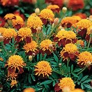 Tagetes patula 'Tiger Eyes' (French marigold 'Tiger Eyes') Click image to learn more, add to your lists and get care advice reminders  each month.