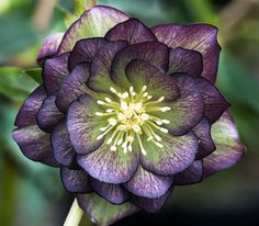 Helleborus, a lovely double green purple bicolor.amazingly pretty to have in bloom in the winter garden. Unusual Flowers, Rare Flowers, Amazing Flowers, Winter Flowers, Flowers Nature, Tropical Flowers, Dahlia, Garden Express, Lenten Rose