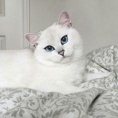 Голубоглазый Коби – самый красивый кот Инстаграма (фото) - Домашний очаг