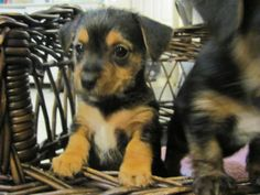 Yorkie Jack Russell mix ...This is the doggie I want ♡
