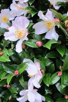 Camellia hybrid 'Fairy Blush' - Good hedging plant, scented blooms over a long period