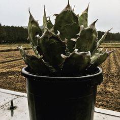Agave  titanota ' Sierra Mixteca '  今回の輸入のメインです  #titanotacollections  #チタノタコレクション  #notforsale  #Agave  #titanota  #アガベ  #チタノタ  #観葉植物  #多肉植物  #ボタニカル  #サボテン  #コーデックス