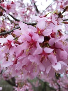 Cherry Blossoms.  Photo by Frederick Meekins