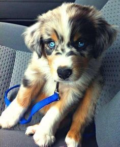 Australian Shepherd and Golden Retriever Mix!