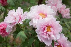 Peonies | What does your favourite flower say about you? | Harper's Bazaar