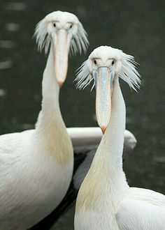 Albino pelicans