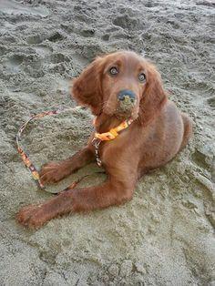 My setter Gigi´s first beach experience
