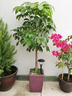 pingl par nikola eftimov sur plants and gardening pinterest plantes et int rieur. Black Bedroom Furniture Sets. Home Design Ideas