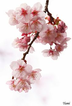 flowers for tree Cherry Blossom Art, Blossom Trees, My Flower, Flower Art, Pink Photography, Japanese Drawings, Nature Wallpaper, Flower Tattoos, Landscape Art