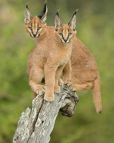 ~ Caracals live in Africa, Middle East and the Indian subcontinent. They are found in Savannah, forest, semi-desert and marshy lowland habitats. Beautiful Cats, Animals Beautiful, Big Cats, Cute Cats, Caracal Kittens, Tiger Species, Animals And Pets, Cute Animals, Gato Grande