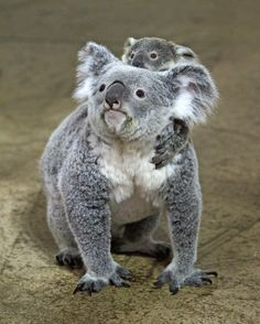 Little Oliver the Koala with mother Lottie at Riverbanks Zoo