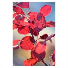 GAP Photos - Garden & Plant Picture Library - Cotinus coggygria with frost - GAP Photos - Specialising in horticultural photography
