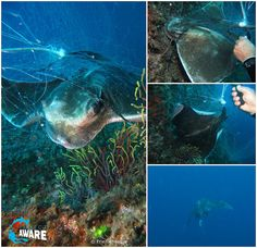Fantastic rescue of a ray entangled in fishing lines in Spain, Costa Brava. So great to see this lucky ray disappear in the blue free ... Don't let your dives go to waste! Dive Against Debris and help protect the ocean one dive at a time - Photos ©Eric Dehasque