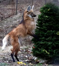 Beautiful Creatures, Animals Beautiful, Animal Dictionary, Maned Wolf, Scary Dogs, Mystical Animals, African Wild Dog, Wild Creatures, Rare Animals