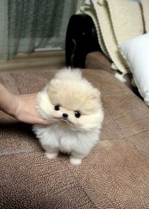 teacup pomeranian. I'm not kidding. He wants one.