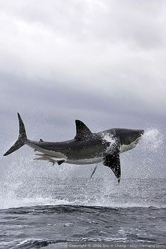 A male great white shark breaches in False Bay near Cape Town, South Africa.
