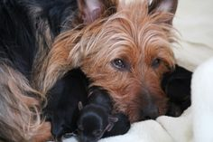 Puppies – Tidewalker Australian Terriers