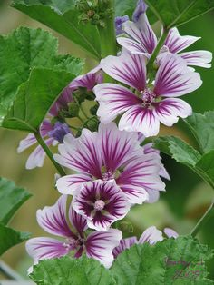 ~~zebrina zebra hollyhocks by Betsy J...~~