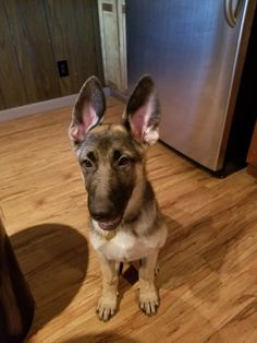 Nugget's ears are standing erect and looking magnificent - a sure sign he is getting to be a big dog!  June 27, 2017