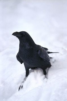 Raven in the snow. Crow Spirit Animal, Merle, Raven Bird, Crow Art, Jackdaw, Crows Ravens, Birds In The Sky, Tier Fotos, Magpie