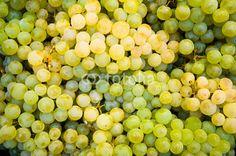Weintrauben, Weinernte, Herbst