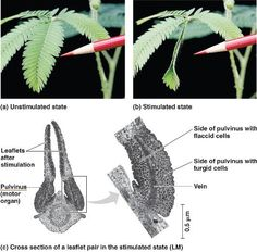 Thigmotropism. The sensitive plant Mimosa pudica responds to touch by folding its leaflets together.   The folding is caused by curving of the pulvinus (motor organ) where cells on one side loses water and becomes flaccid, while cells on the opposite side retain their turgor. Sensitive Plant, Over The Garden Wall, Ecology, Botany, Plant Leaves, Plants, Leaflets, Anatomy, Gardening