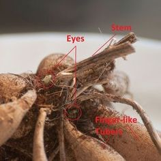 Digging, dividing and storing dahlia tubers each years will keep you in an endless supply. Follow these basic steps.