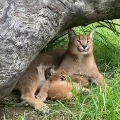 Funny Animal Videos, Cute Funny Animals, Animal Memes, Cute Baby Animals, Animals And Pets, Cute Cats, Wild Animals, Videos Funny, Baby Caracal
