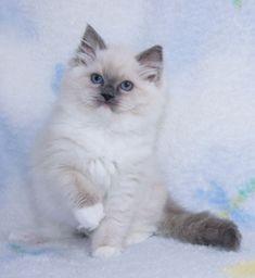 Ragdoll Kittens for Sale, | Catlana Ragdolls Ragdoll Kittens For Sale, Kitten For Sale, Cats And Kittens, Cut Cat, Beautiful Kittens, Newborn Kittens, Cute Baby Cats, Orange Tabby Cats, Kids Dolls
