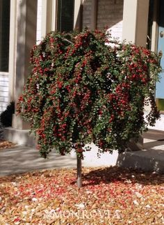 Monrovia's Cranberry Cotoneaster details and information. Learn more about Monrovia plants and best practices for best possible plant performance.
