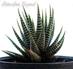 La popular Cebrita de jardín, Haworthia fasciata