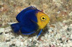 Image from http://www.coralreefphotos.com/wp-content/uploads/2011/12/BAR-1044_pygmy-angelfish.jpg.
