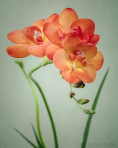 Freesia Flower Photo, Fine Art Print by Allison Trentelman